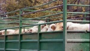 Mucche cadono da camion, panico sulla Messina-Palermo