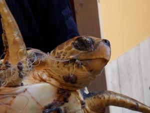 Guardia Costiera e WWF salvano una tartaruga marina nel Porto di Vibo.
