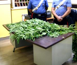 Ininterrotta la incalzante azione repressiva svolta dai Carabinieri per il contrasto della coltivazione di cannabis indica nella Provincia Reggina.