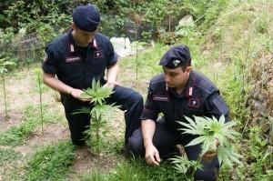 Tortorici (Me): rinvenuta dai Carabinieri una piantagione di marijuana, arrestato pregiudicato.