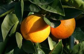 arancia maltese