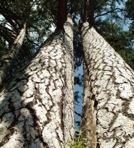 giganti_della_sila - alberi e foresta