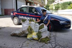 Mesoraca (KR): i Carabinieri scoprono una piantagione di 600 piante di cannabis e rinvengono 45 kg di marijuana.