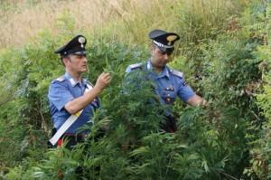 Carini (Pa). Carabinieri rinvengono una coltivazione di canapa indica.