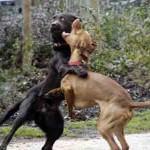 Palermo: combattimento tra animali.
