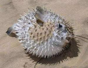 pesce_palla