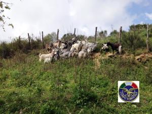Novara di Sicilia: sequestro di n. 22 caprini sprovvisti del marchio auricolare