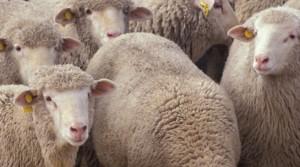 pecore-ovini