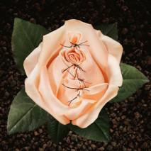 rosa cucita contro infibulazione