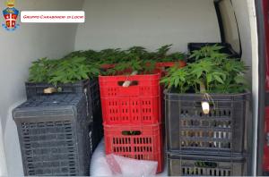 Bianco (Rc): un arresto per coltivazione, produzione, traffico e detenzione illeciti di sostanze stupefacenti