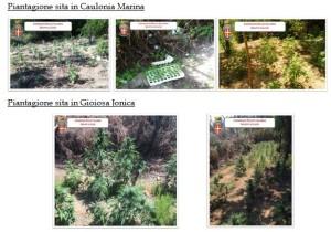 Nel Reggino a Caulonia Marina e Gioiosa Jonica. Nel corso di un ampio servizio di rastrellamento, i Carabinieri della Compagnia di Roccella Jonica hanno rinvenuto complessive 497 piante di canapa indiana.