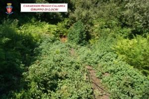 Mammola (Rc). Rinvenuta coltivazione di canapa indiana. 100mila Euro il valore se immessa sul mercato.