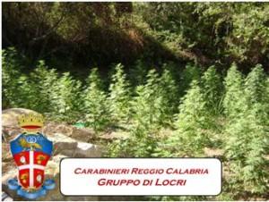 Plati (Rc). Scoperta dai Carabinieri l'ennesima piantagione di canapa indica.