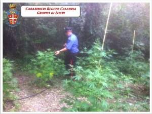 Grotteria (Rc). Sorpreso mentre s'introduceva in una piantagione di canapa: arrestato dai Carabinieri un 27enne di Gioiosa Jonica.