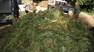 Vibo Valentia. Arrestati due coniugi incensurati. Sequestro di 400 piante e oltre 200 Kg di marjuana gia' essiccata