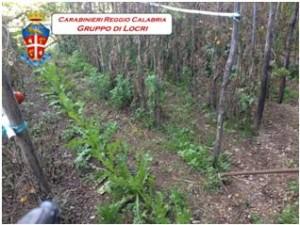 Caulonia (RC). I Carabinieri trovano una piantagione di canapa indiana all'interno di un vigneto: un arresto e una denuncia a piede libero.