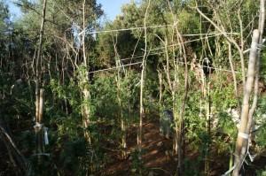Placanica (Rc):  rinvenuta piantagione di canapa indiana. Immessa sul mercato dopo l'essiccazione, la marijuana avrebbe fruttato oltre 100.000  €uro.