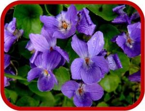 Viola-mammola