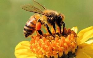 apicoltura - ape su fiore