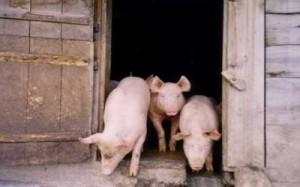 maiali-e-porcile