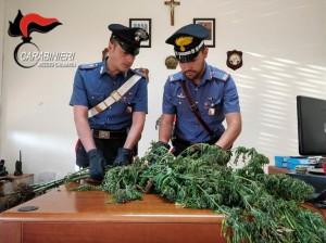 Cosoleto (Rc). Padre e due figli arrestati per coltivazione di cannabis indica