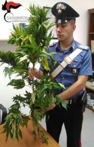 cc-marijuana