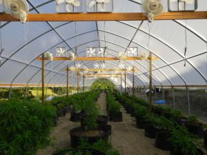coltivazione-in-serra-della-marijuana