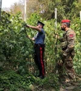 San Procopio (Rc). 24enne arrestato con l'accusa di produzione di sostanze stupefacenti.