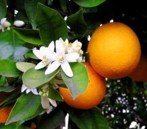 Il biondo tardivo di Trebisacce (Cs) iscritto nel registro nazionale delle varietà piante da frutto