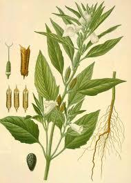 12-pianta-di-sesamo
