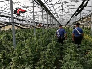 Catanzaro. Piantagione con 10.000 piante di cannabis sequestrata dai Carabinieri