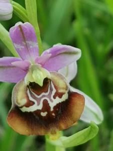 15-orchidea-jonica