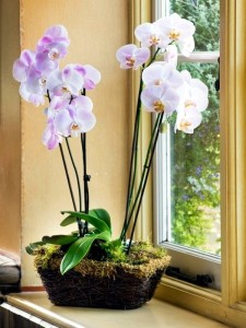 17-orchidee-in-vaso