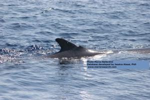 Soverato. Codamozza, la straordinaria balenottera che ha fatto il giro del Mediterraneo senza avere la coda.