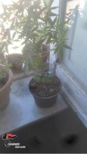 Gioiosa Jonica (Rc). Coltiva marijuana in terrazza, arrestato un 55enne