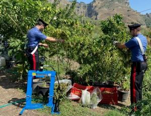 Taormina (Me). Coltivano piante di Cannabis. Arrestati dai Carabinieri.