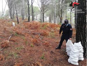 San Sostene (Cz). Furto pigne per la produzione di pinoli in un bosco di proprieta' comunale.